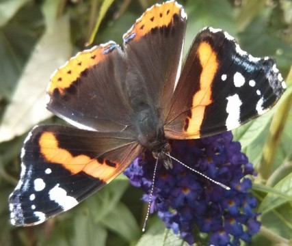 Red Admiral Butterfly Vanessa Atalanta