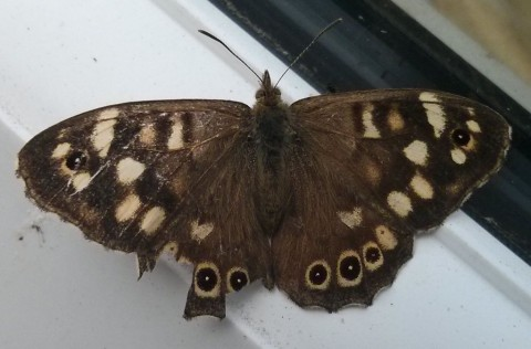 Speckled Wood, Pararge aegeria ssp. tircis