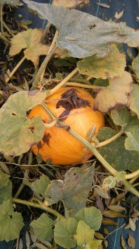 Fresh pumpkin on the allotment