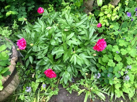 """Patchway Peony"""