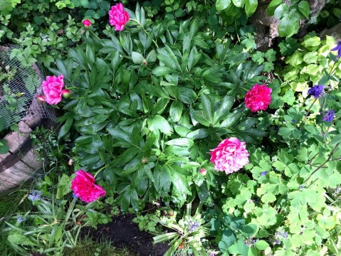 """""""Patchway Peony"""""""