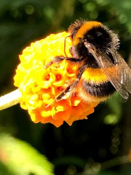 Bumble bee on Buddleja globosa