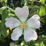 Photo of a dog rose (Rosa canina)