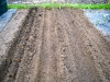 Asparagus beds - final row - Purple Passion