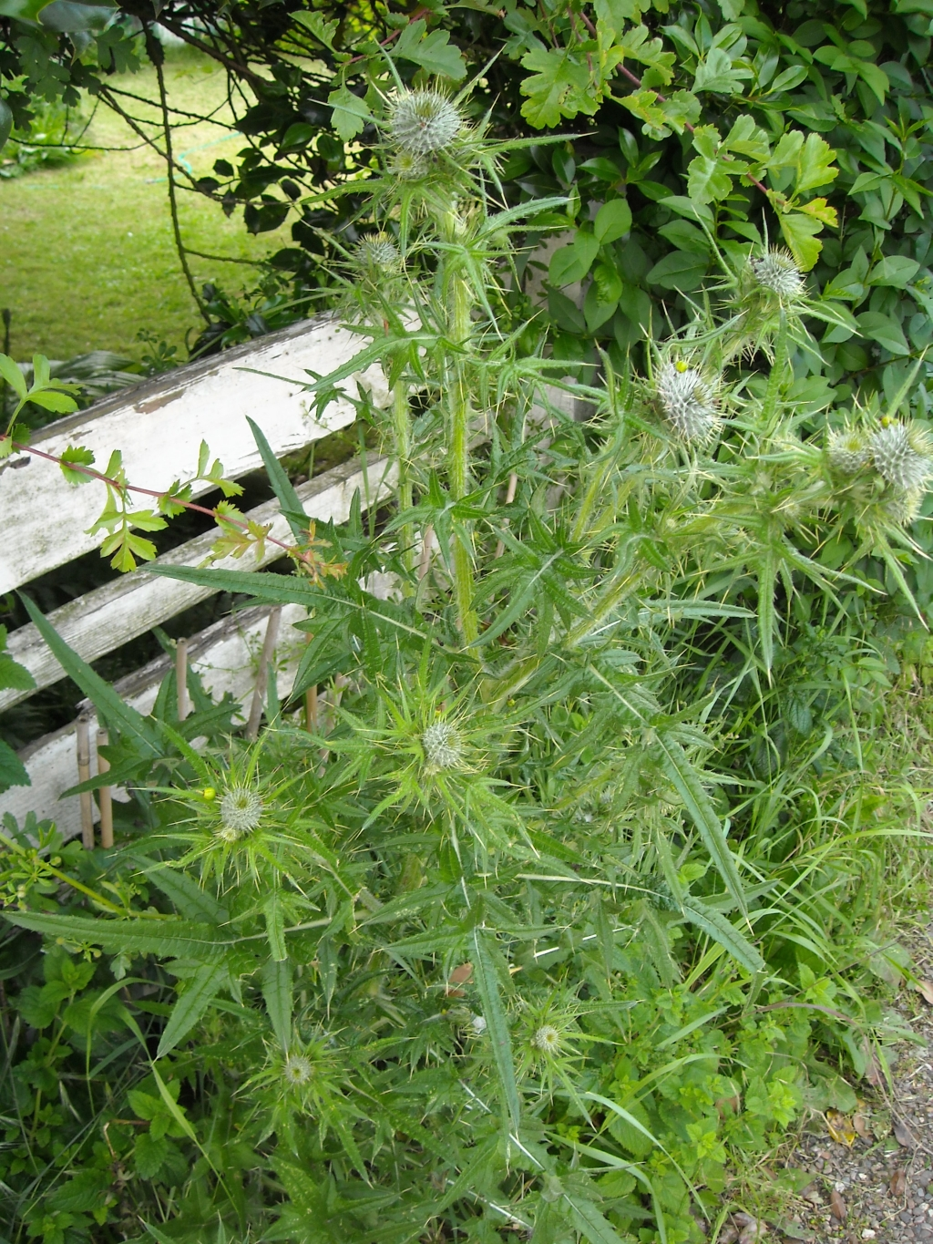 Bull Thistle, Common Thistle, or Spear Thistle