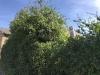 hedge-005