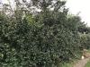 hedge-009